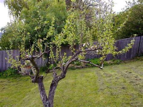 pruning apple trees in autumn trim apple tree branches