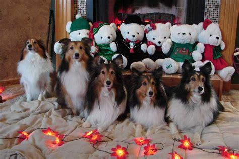 sheltie nation    christmas leftovers