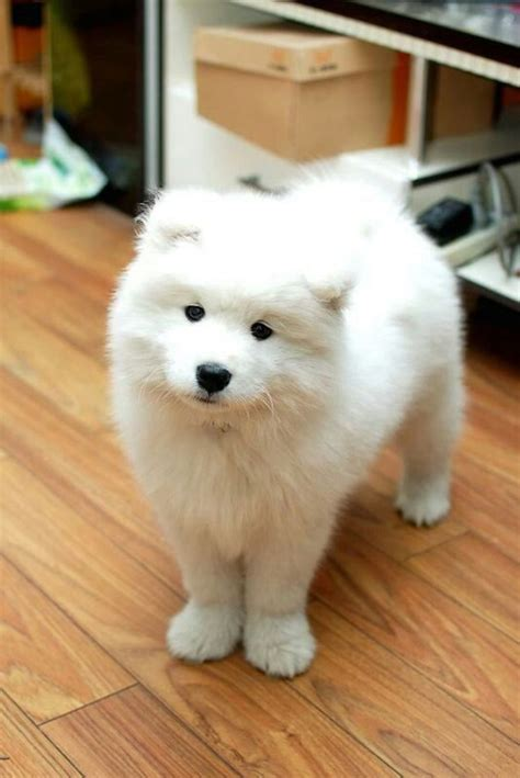 1000 Images About Samoyedssammies On Pinterest