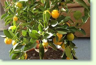 mandarinen pflege pflanzenfreunde