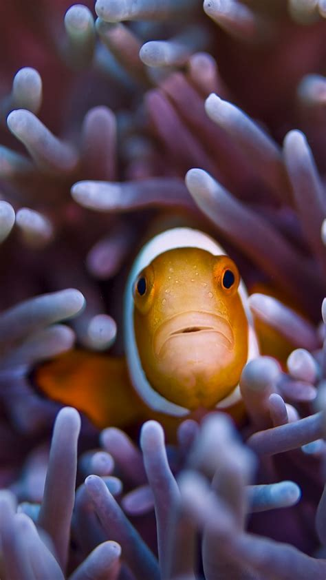 wallpaper clownfish   wallpaper gili island bali