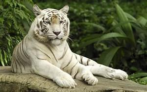 Tigre Blanco Fondos de pantalla, Fondos de escritorio ...