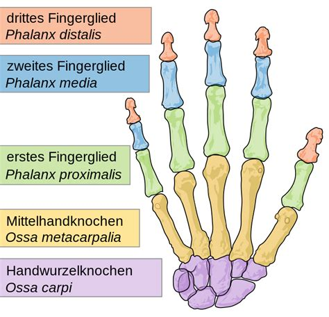 filescheme human hand bones desvg wikimedia commons