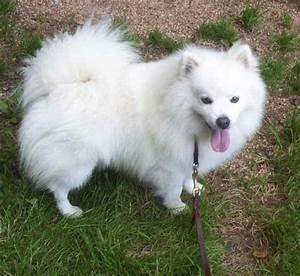 25 best Miniature American Eskimo Dogs images on Pinterest ...