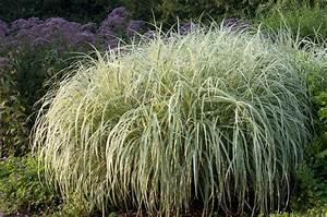 Miscanthus Sinensis Variegatus : miscanthus sinensis variegatus japanese silver grass ~ Eleganceandgraceweddings.com Haus und Dekorationen