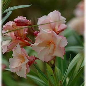 Oleander Draussen überwintern : oleander garden pinterest garten k belpflanzen s pflanzen ~ Eleganceandgraceweddings.com Haus und Dekorationen