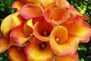 significato fiori calla calla significato linguaggio dei fiori significato