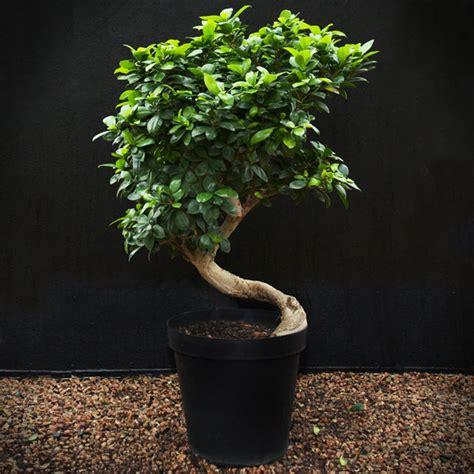 ficus ginseng bonsai bonsai ficus ginseng gardenshop
