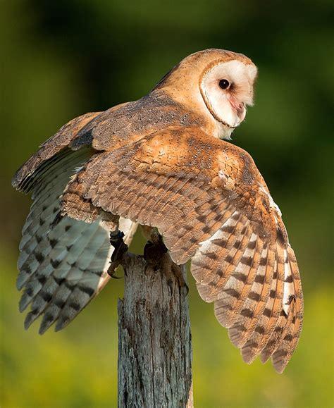 barn owl blackland prairie raptor center