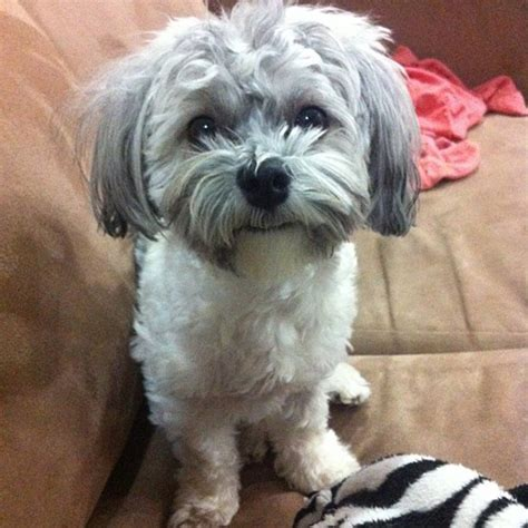 Small White Non Shedding Breeds by Non Shedding Family Breeds Breeds Picture