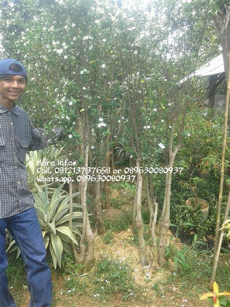 jual bonsai melati jasmine pohon melati jasmine tukang