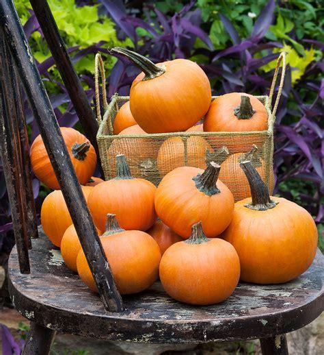 Wee B Little Pumpkin: Small Size Fruit, Compact Grower