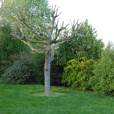 comment tailler un murier platane en forme parasol murier platane 1000 arbresfr laposencyclopdie des arbres et
