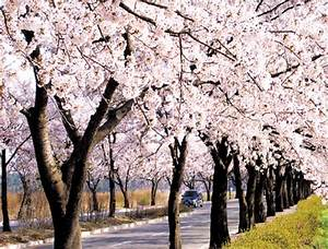 Korea's Cherry Blossoms 2018 Forecast: When & Where to ...