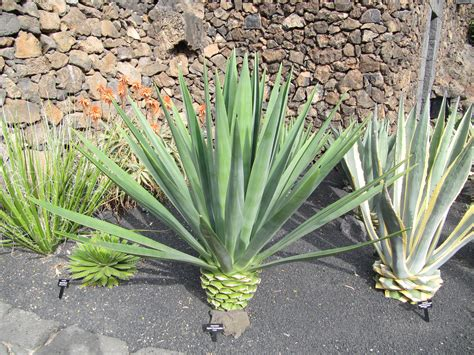 agave plant agave fourcroydes images useful tropical plants