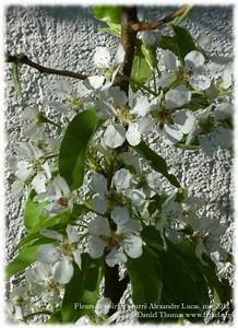 Conservation Des Poires : fleurs de poirier beurr alexandre lucas sous la lumi re douce du premier soleil matinal ~ Melissatoandfro.com Idées de Décoration