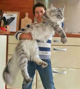 big maine coon cats for maine coon pictures poc