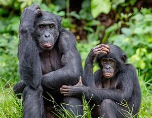 There U0026 39 S So Much That Bonobos And Chimps Can Teach Humans