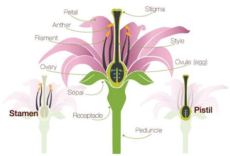 Carnation Anatomy Diagram by Daylilies In Australia Pollination And Fertilisation In