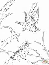 Coloring Bluebird Western Pages Realistic Printable Drawing Clipart Cliparts Clip Books Library Categories sketch template