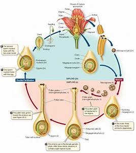 The Life Cycle Of Angiosperm