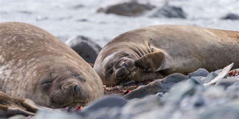 animals  antarctica hurtigruten uk