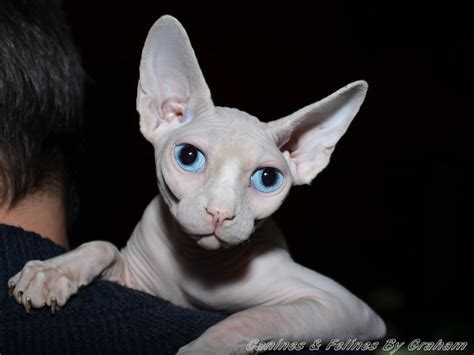 Sphynx Cat Breed Profile  Uk Cat Breeders