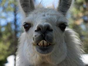 The gallery for --> Llamas Smiling