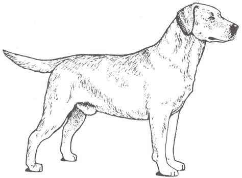labrador coloring pages realistic labrador page coloring pages