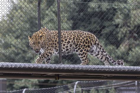 digs   asian leopards  san diego zoo la times