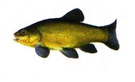 cuisiner la tanche poissons d 39 eau douce la tanche un beau poisson d eau douce