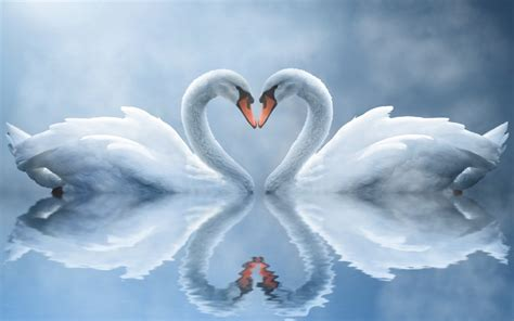 Animated Wallpaper Screensavers - swan animated wallpaper swan animated wallpaper