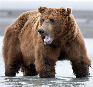 Brown Bears In Katmai  Alaska