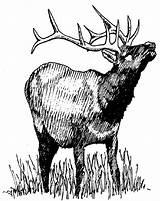 Elk Coloring Grass Drawing Eat Lot Colornimbus sketch template