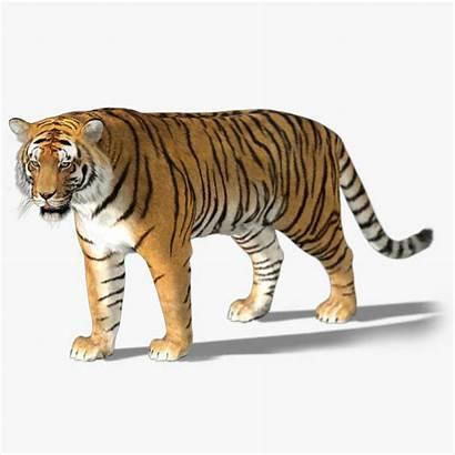 3d Animal Tiger Models Turbosquid
