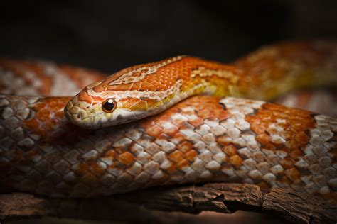 corn snake wallpapers backgrounds
