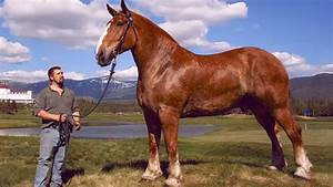 Top 10 Biggest Horse Breeds in the World - YouTube
