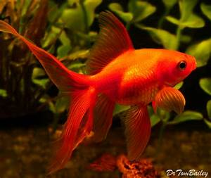 1000+ images about Goldfish on Pinterest | Fantail ...