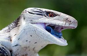 The Blue Tongue Lizard That Blew My Mind – Cobras.org