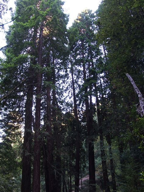 sequoia sempervirens wikipedia