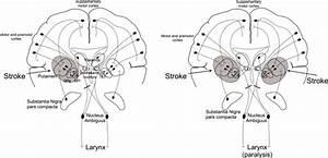 Anatomical Pathways Between The Cortex  Basal Ganglia