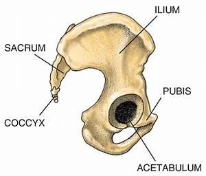 Medical Pictures Info  U2013 Hip Bone