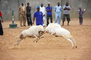 Ram Fighting to feature at 2016 National Sports Festival ...