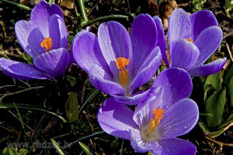 Krokuss - Pavasara puķes - redzet.eu
