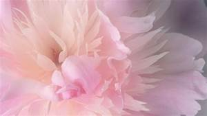 2560x1440 Peony desktop PC and Mac wallpaper