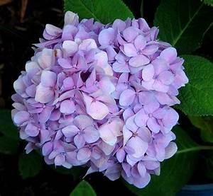 hydrangea wedding flower in light purple color.JPG