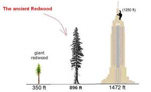 ancient trees more than the height of the tallest redwoods
