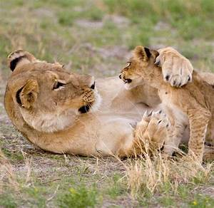 60 best images about Lion Cub & Mom on Pinterest | Mom ...