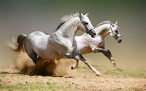 Beautiful Wallpapers: White Horse Wallpapers