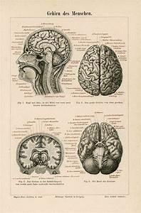 1894 Human Brains Antique Anatomy Print Original Skull